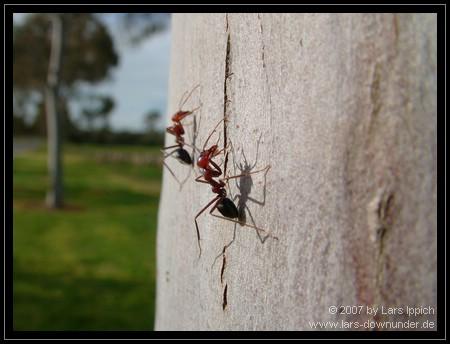 Ameisen wollen hoch hinaus