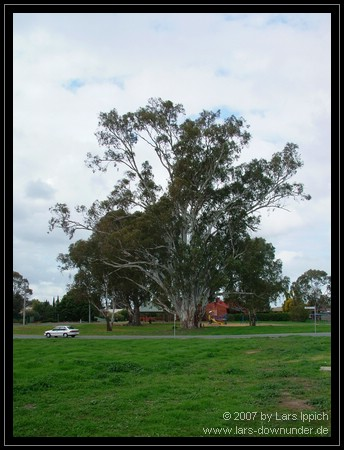alter Baum in Shepparton