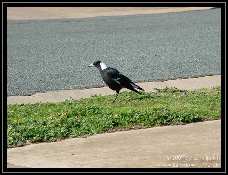 Vogel auf der Straße