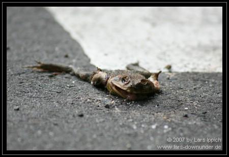 Frosch auf der Straße