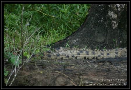 Unterscheidungsmerkmal bei Krokodilen: Schwanzmuster