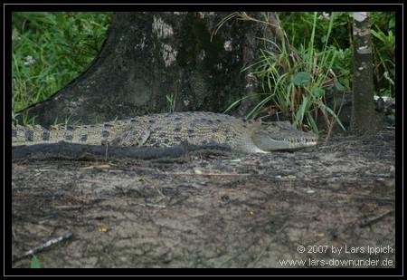 Krokodil am Ufer des Daintree River