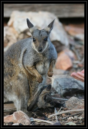 junges Rock Wallaby